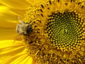 Chilling on a sunflower